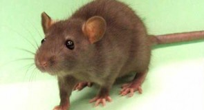 Rever de rats